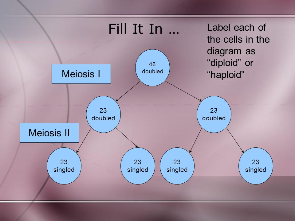 Fill It In … Label each of the cells in the diagram as diploid or haploid 46. doubled. Meiosis I.