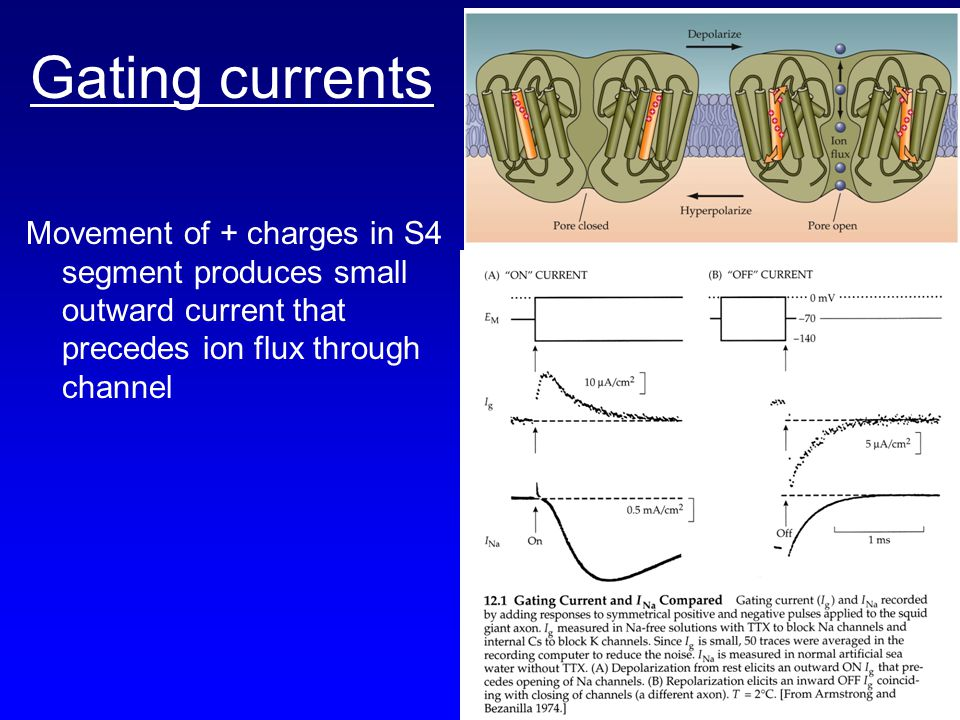 Gating currents Movement of + charges in S4 segment produces small outward current that precedes ion flux through channel.