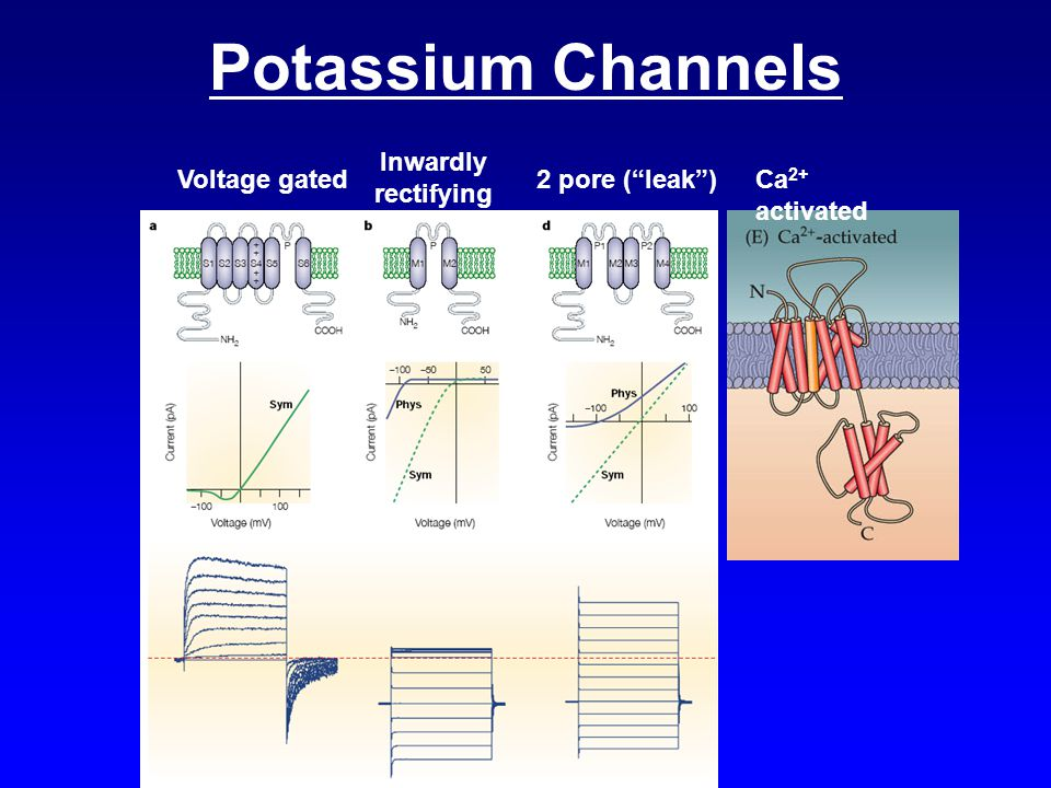 Potassium Channels Inwardly rectifying Voltage gated 2 pore ( leak )