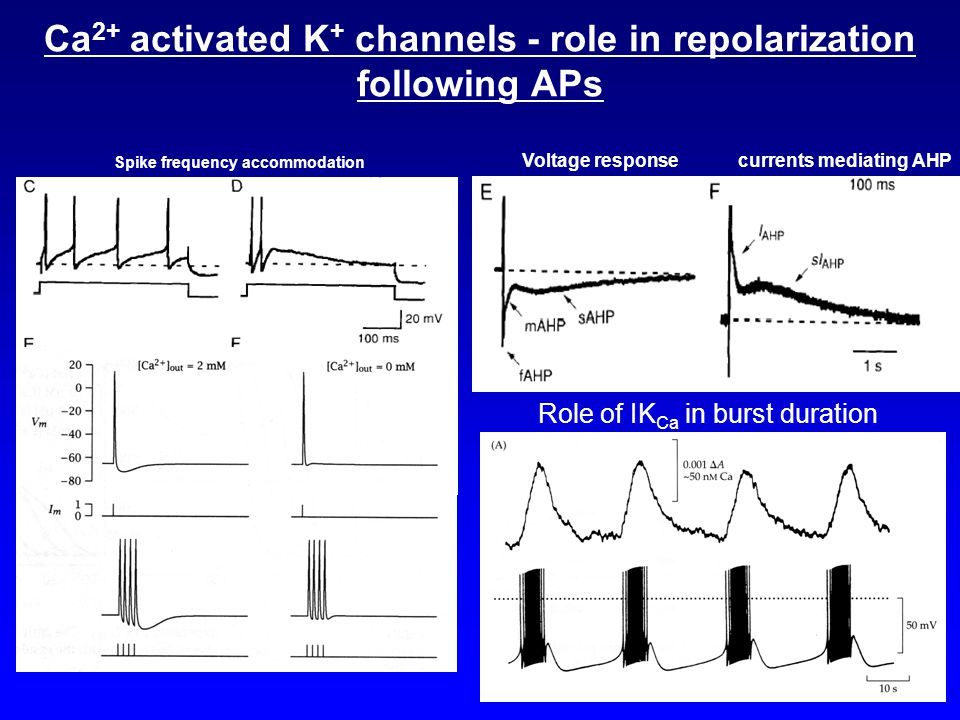 Ca2+ activated K+ channels - role in repolarization following APs
