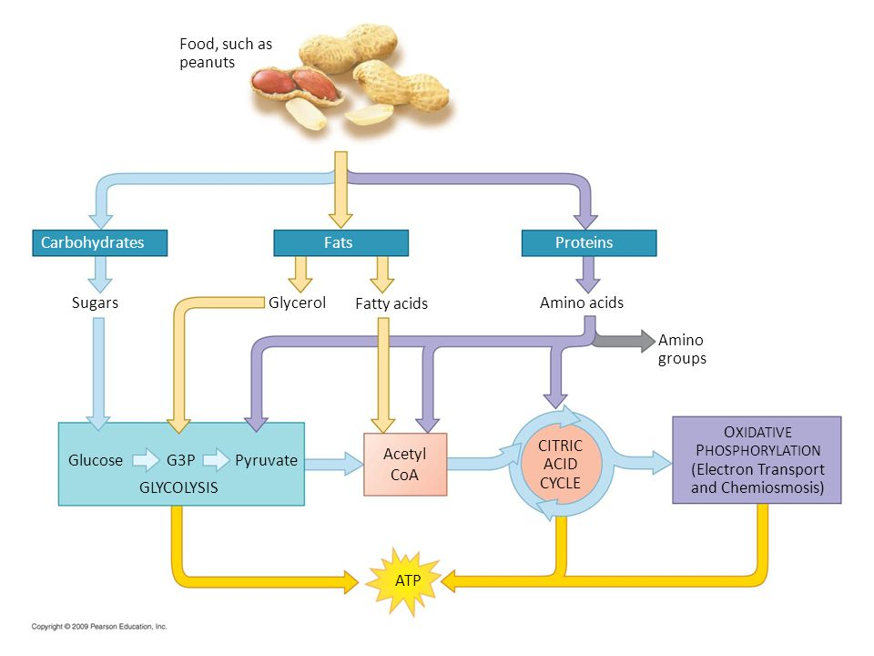 Food, such as peanuts. Carbohydrates. Fats. Proteins. Sugars. Glycerol. Fatty acids. Amino acids.