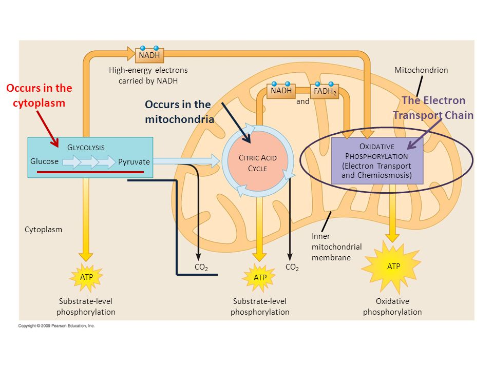 Occurs in the cytoplasm The Electron Transport Chain