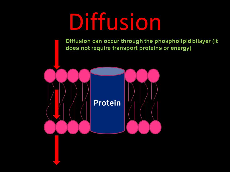 Diffusion Diffusion can occur through the phospholipid bilayer (it does not require transport proteins or energy)