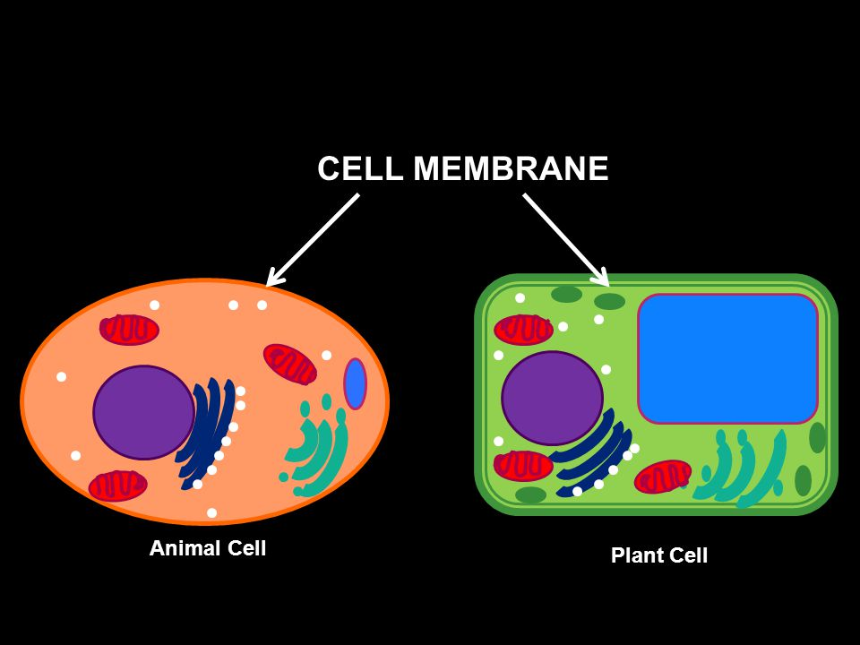 CELL MEMBRANE Animal Cell Plant Cell