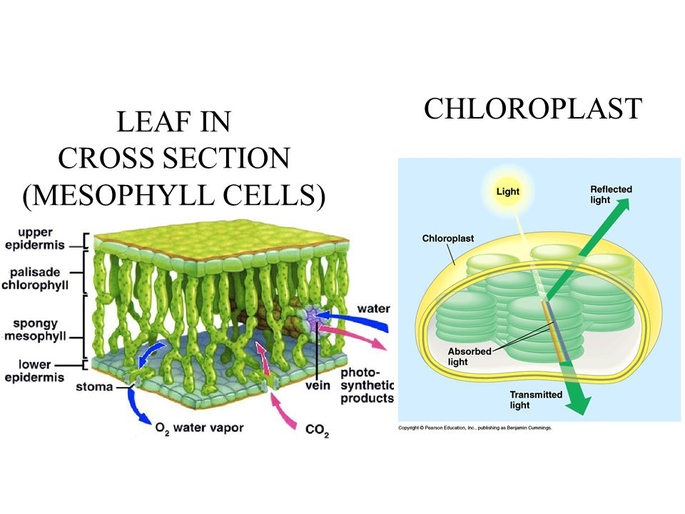 LEAF IN CROSS SECTION (MESOPHYLL CELLS)