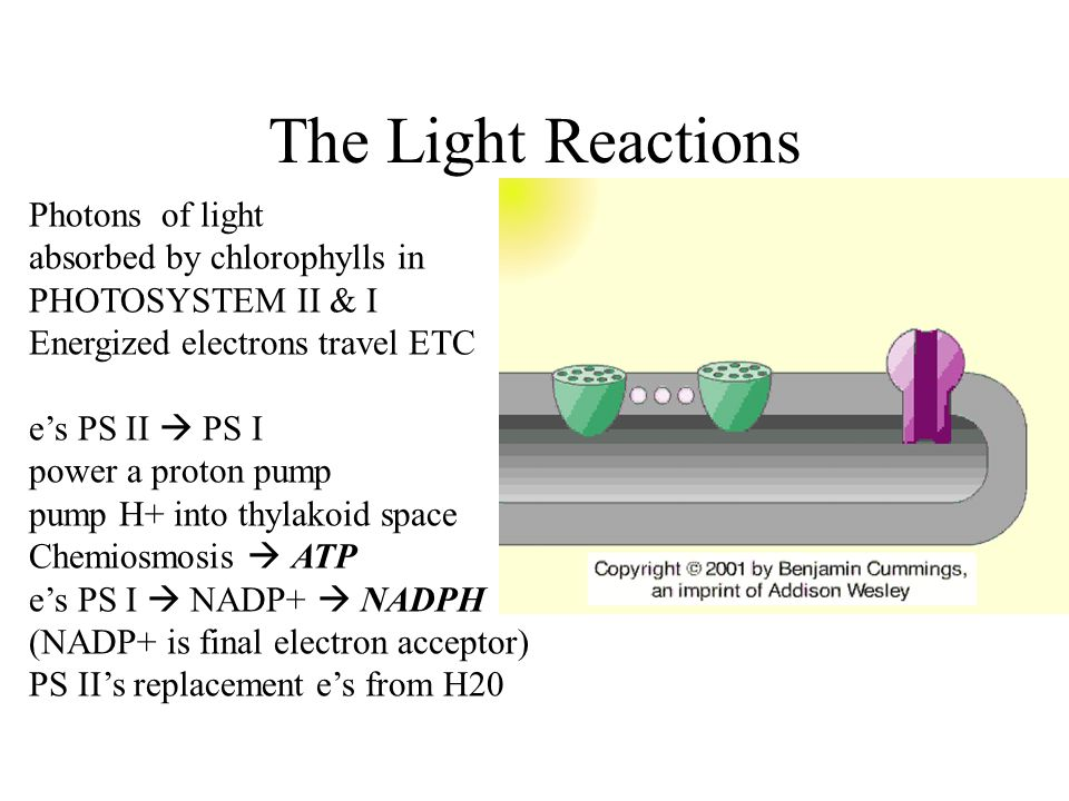 The Light Reactions Photons of light absorbed by chlorophylls in