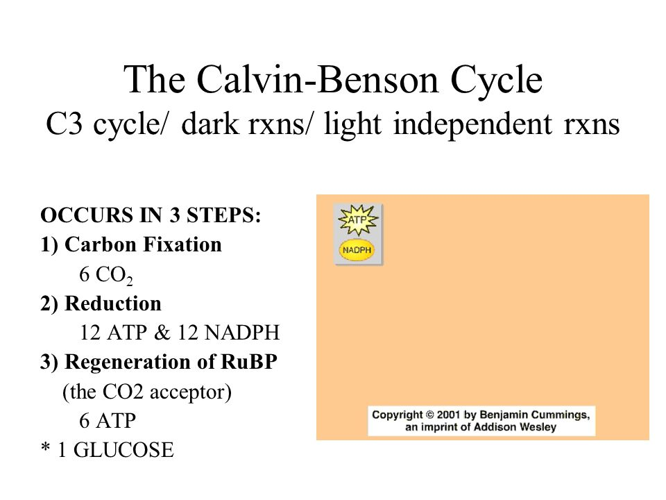 The Calvin-Benson Cycle C3 cycle/ dark rxns/ light independent rxns