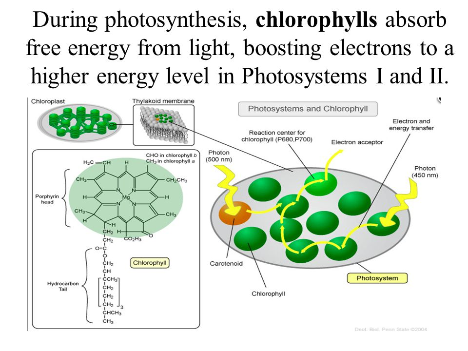 During photosynthesis, chlorophylls absorb free energy from light, boosting electrons to a higher energy level in Photosystems I and II.