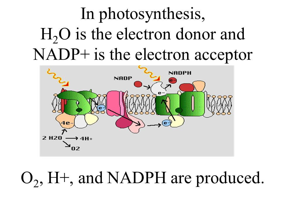 In photosynthesis, H2O is the electron donor and NADP+ is the electron acceptor O2, H+, and NADPH are produced.