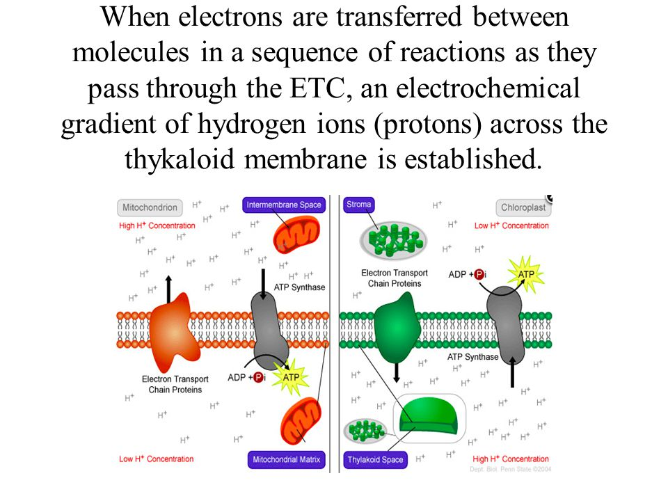 When electrons are transferred between molecules in a sequence of reactions as they pass through the ETC, an electrochemical gradient of hydrogen ions (protons) across the thykaloid membrane is established.