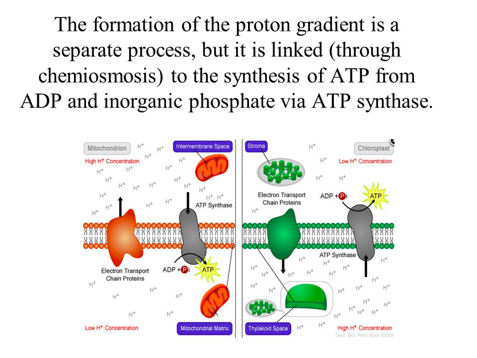 The formation of the proton gradient is a separate process, but it is linked (through chemiosmosis) to the synthesis of ATP from ADP and inorganic phosphate via ATP synthase.