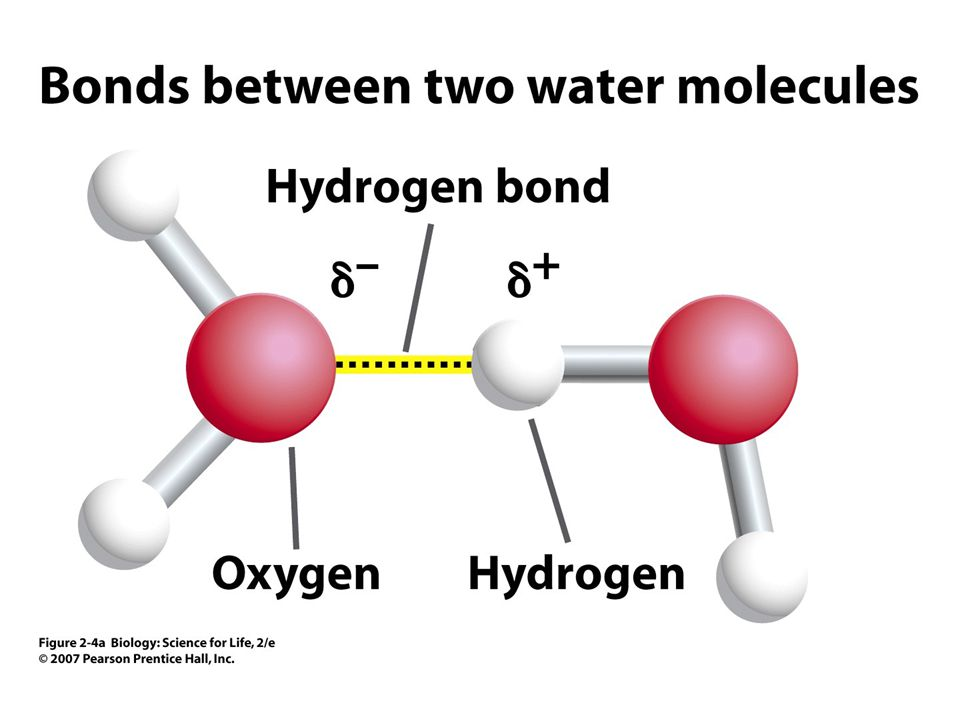 Figure 2.4 Hydrogen bonding between water molecules.