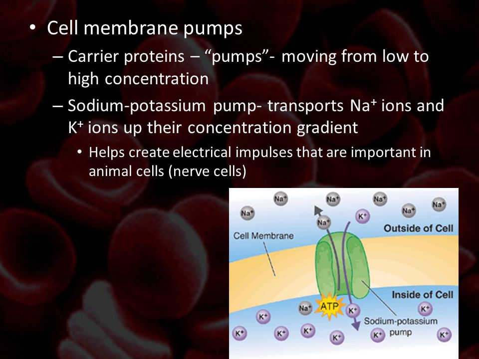 Cell membrane pumps Carrier proteins – pumps - moving from low to high concentration.