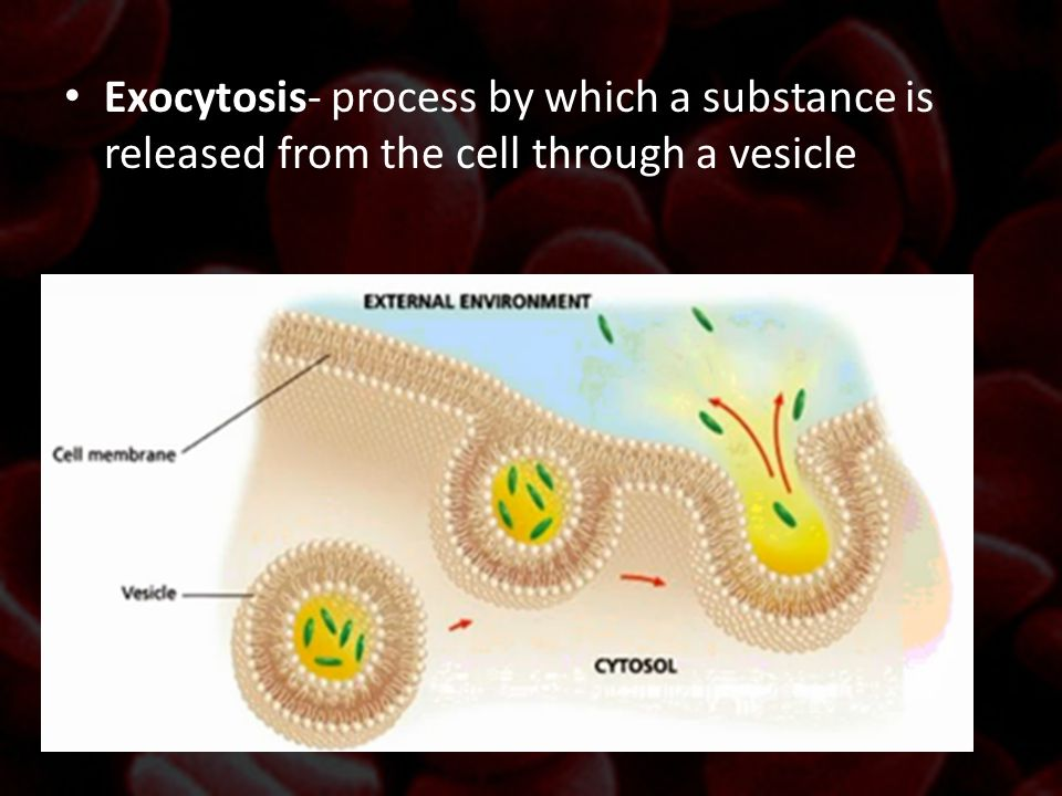 Exocytosis- process by which a substance is released from the cell through a vesicle