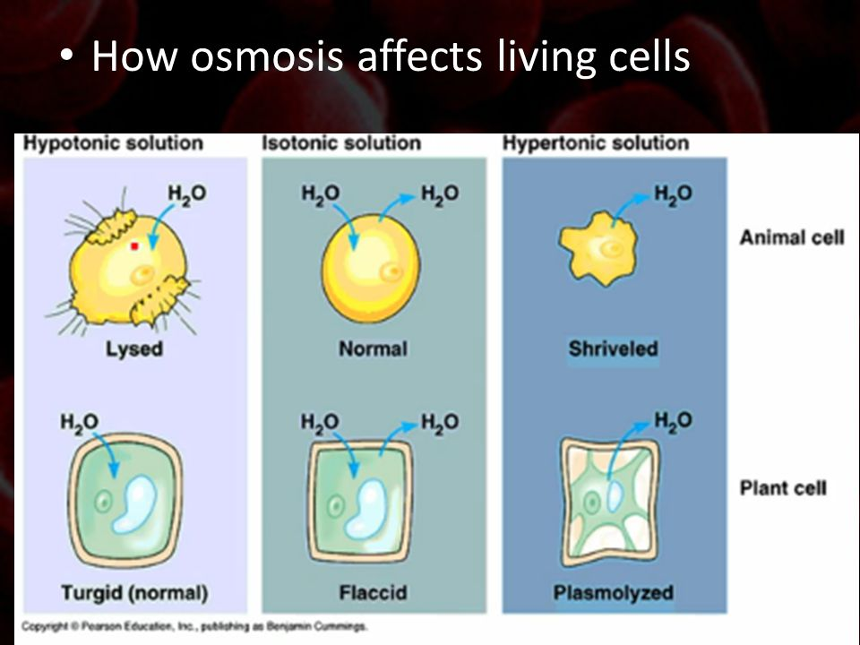 How osmosis affects living cells