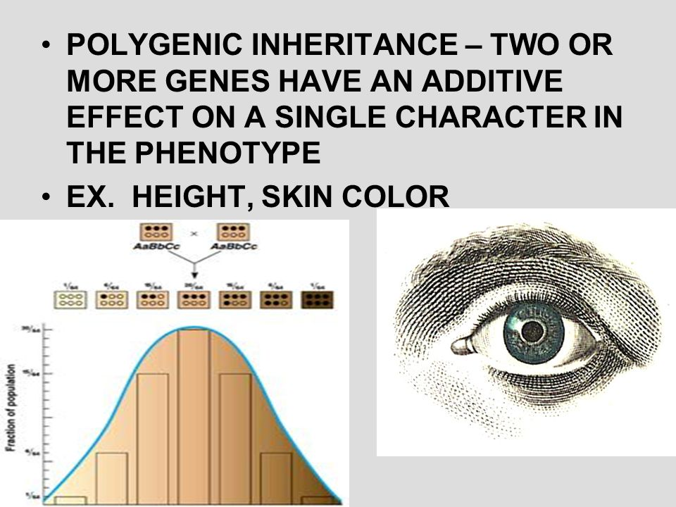 POLYGENIC INHERITANCE – TWO OR MORE GENES HAVE AN ADDITIVE EFFECT ON A SINGLE CHARACTER IN THE PHENOTYPE