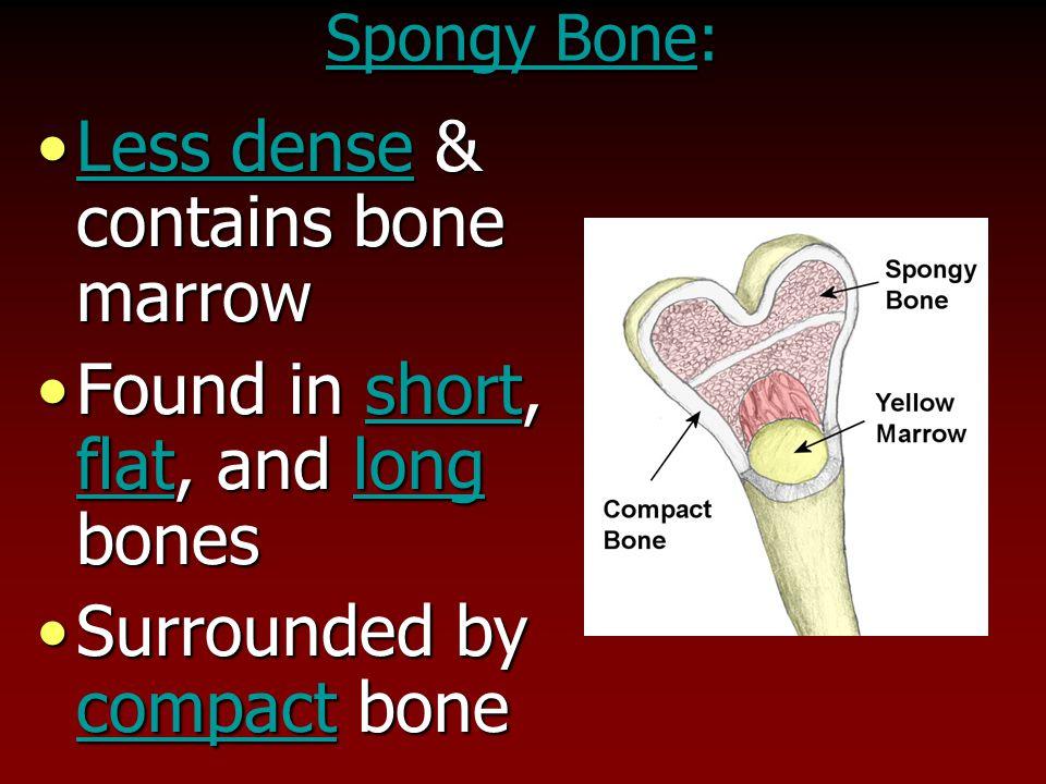 Less dense & contains bone marrow