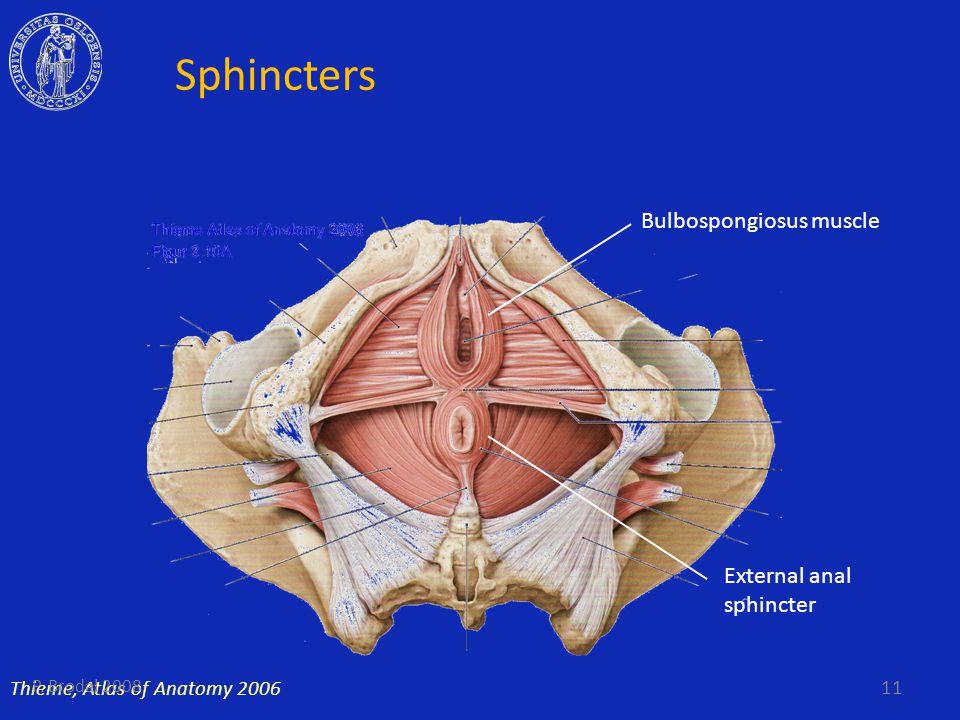 Sphincters Bulbospongiosus muscle External anal sphincter