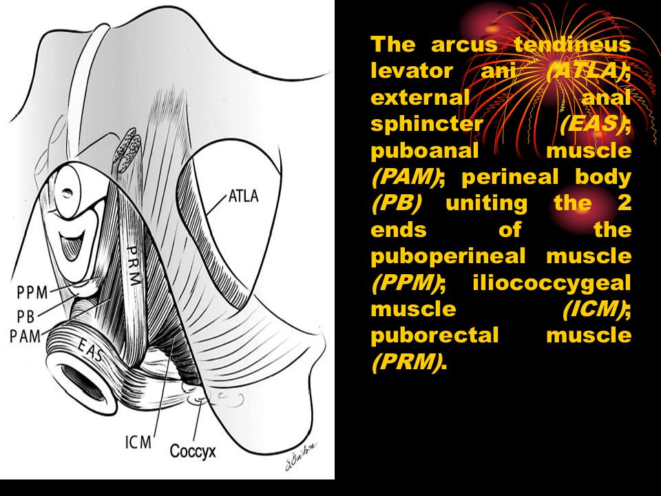 The arcus tendineus levator ani (ATLA); external anal sphincter (EAS); puboanal muscle (PAM); perineal body (PB) uniting the 2 ends of the puboperineal muscle (PPM); iliococcygeal muscle (ICM); puborectal muscle (PRM).