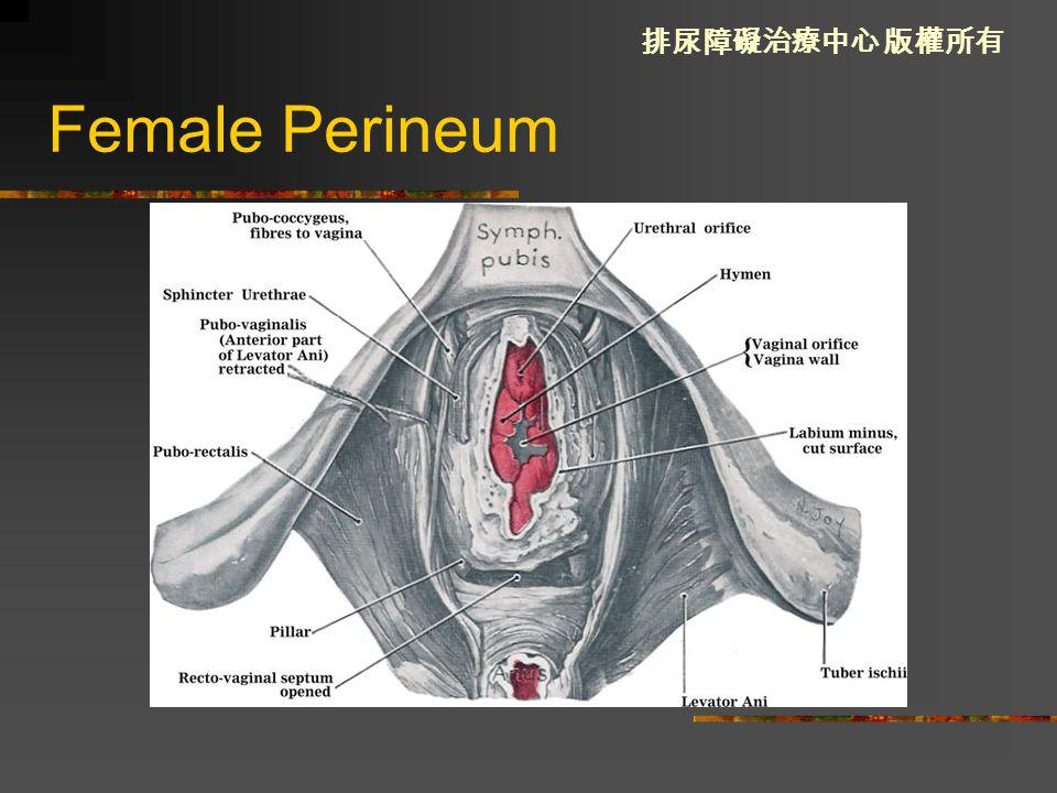 Female Perineum