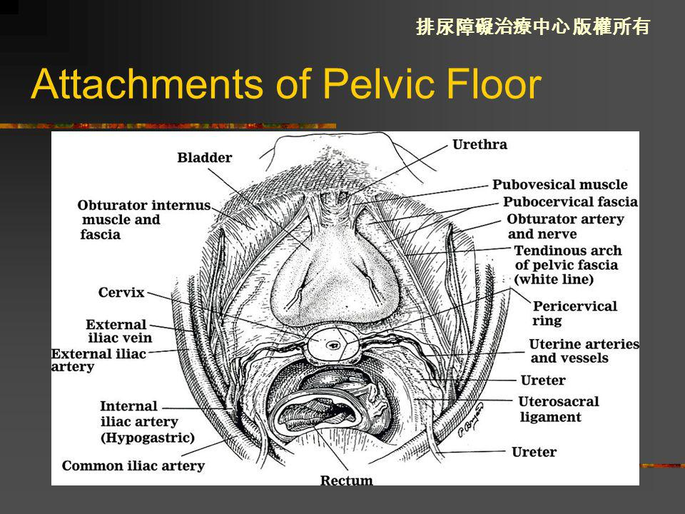 Attachments of Pelvic Floor