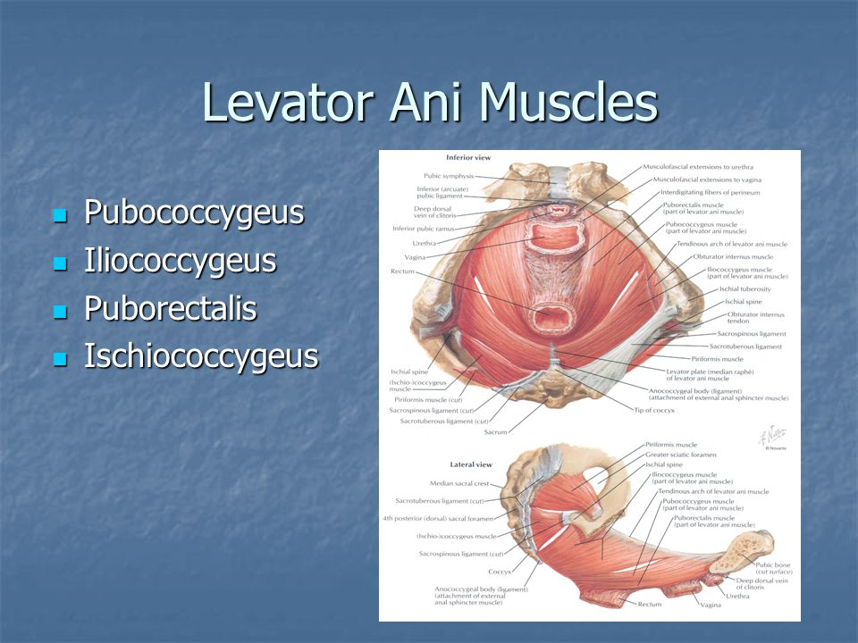 Levator Ani Muscles Pubococcygeus Iliococcygeus Puborectalis