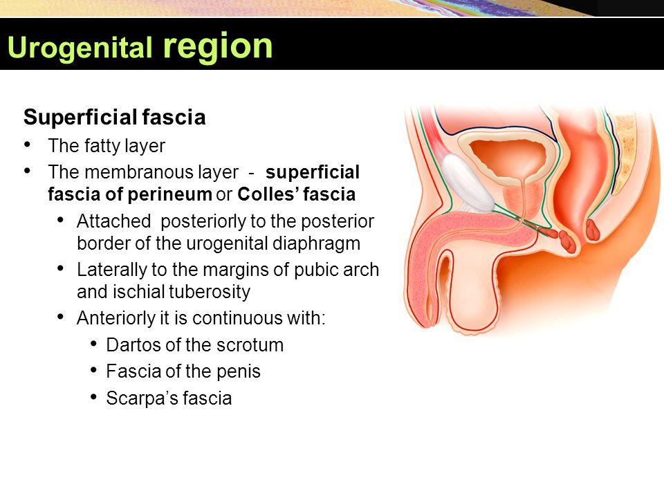 Urogenital region Superficial fascia The fatty layer