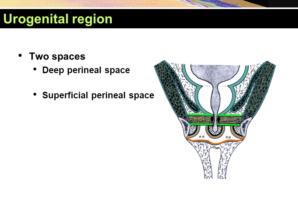 Urogenital region Two spaces Deep perineal space