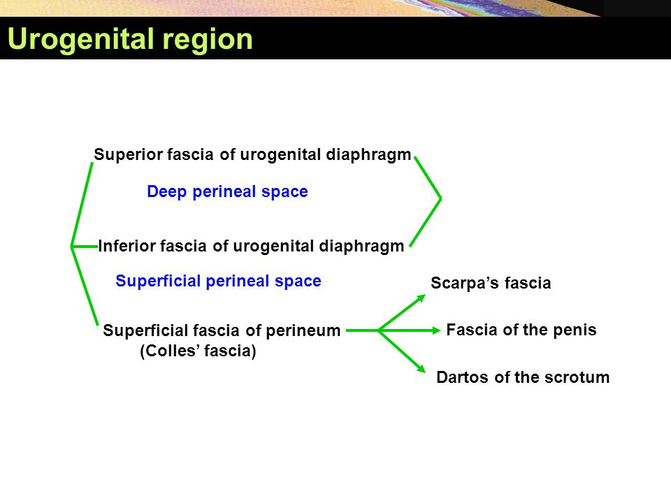 Urogenital region Superior fascia of urogenital diaphragm