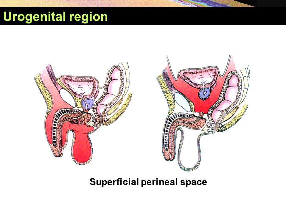 Urogenital region Superficial perineal space