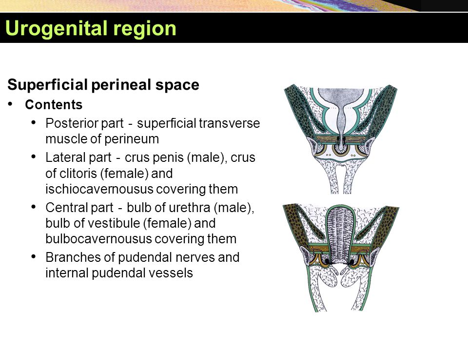 Urogenital region Superficial perineal space Contents