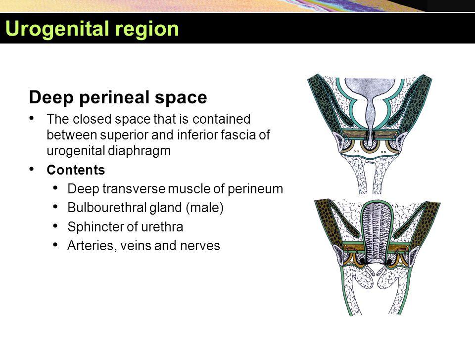 Urogenital region Deep perineal space