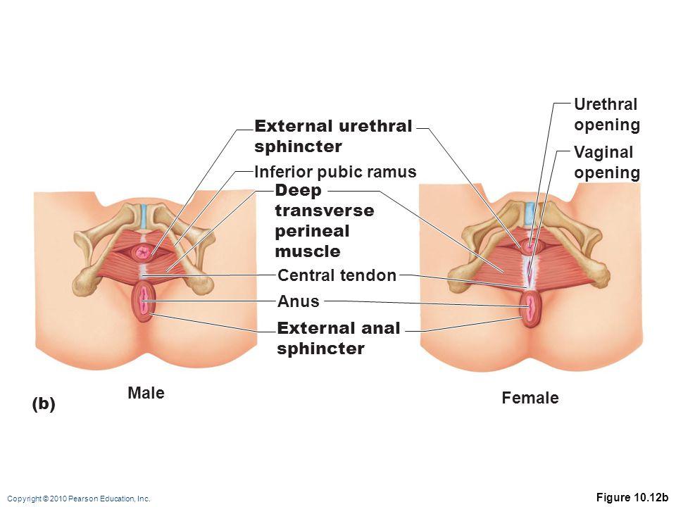 Urethral opening External urethral sphincter Vaginal opening