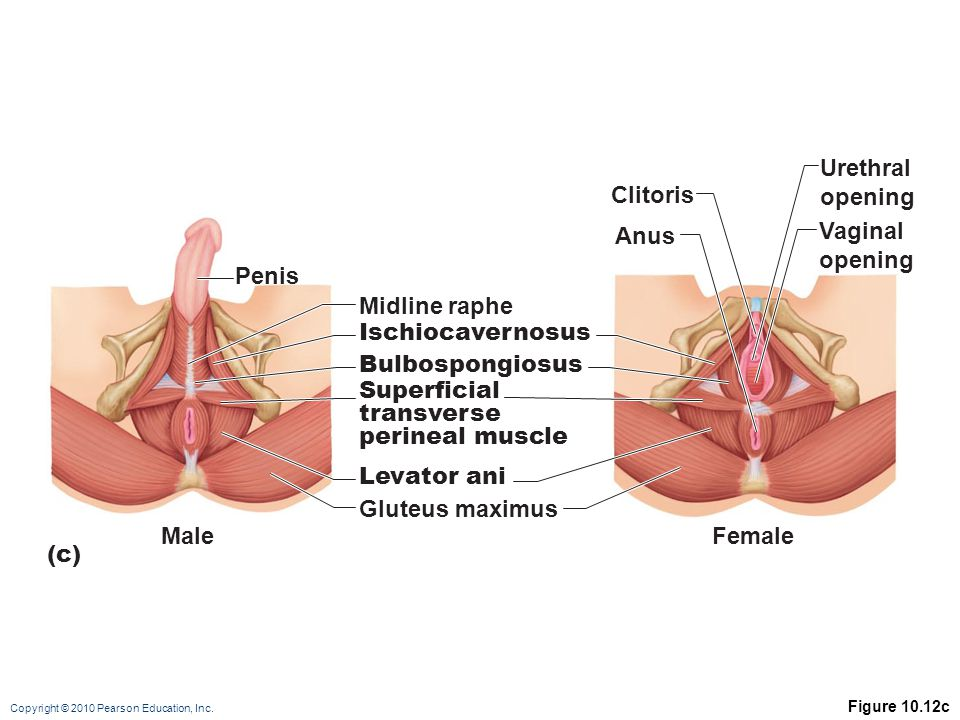 Urethral opening Clitoris Vaginal Anus opening Penis Midline raphe