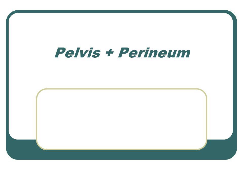 Pelvis + Perineum