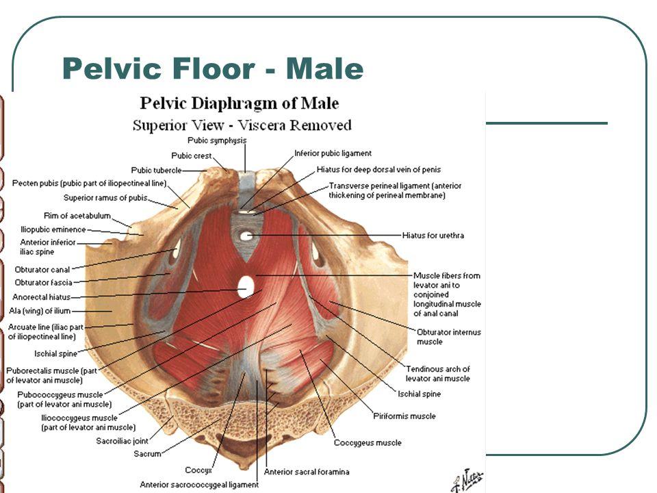 Pelvic Floor - Male