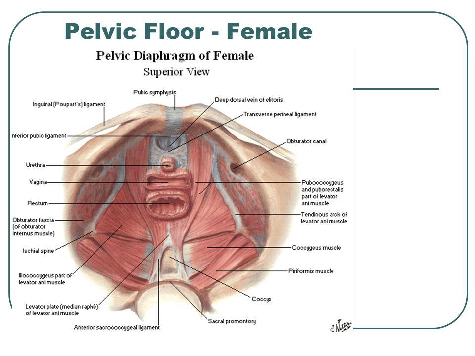 Pelvic Floor - Female