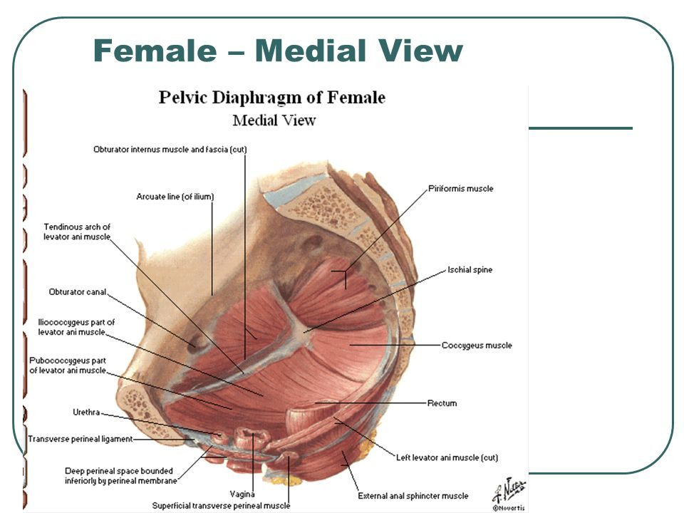 Female – Medial View