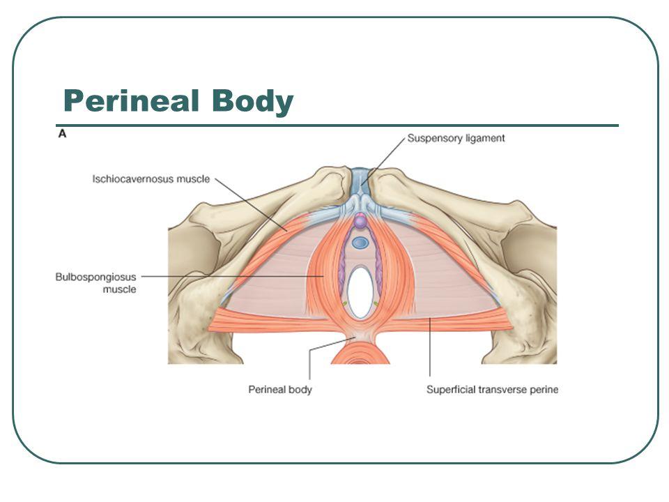 Perineal Body
