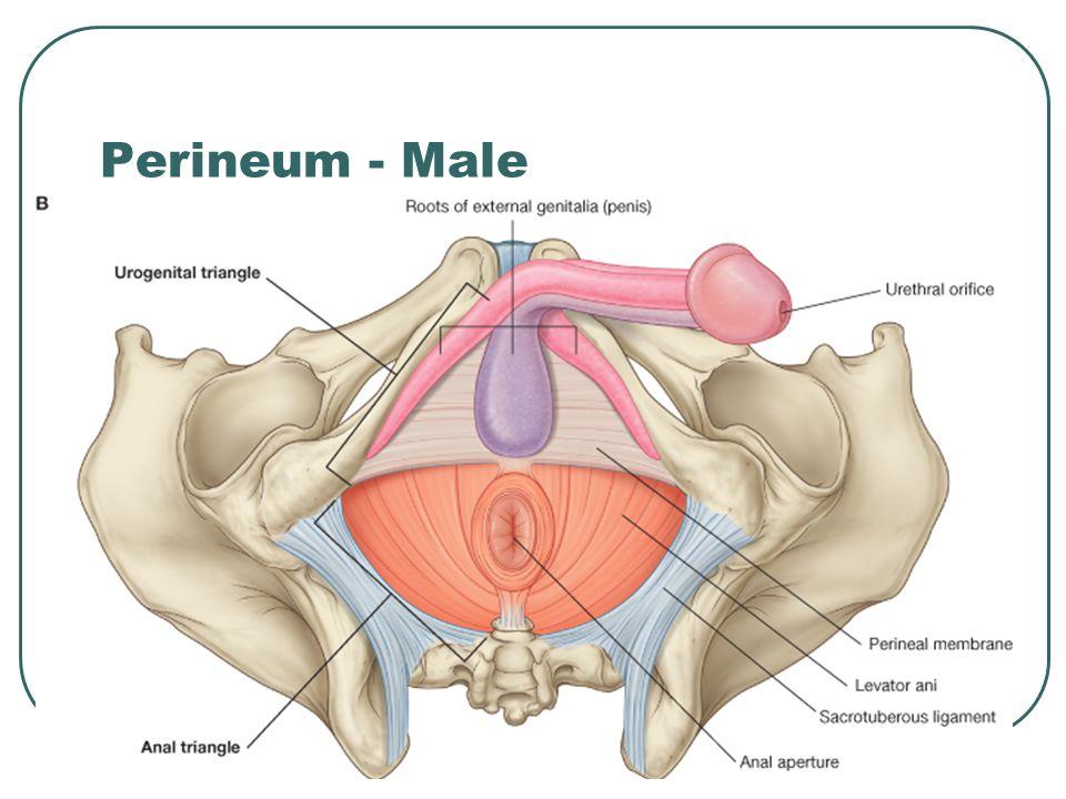 Perineum - Male