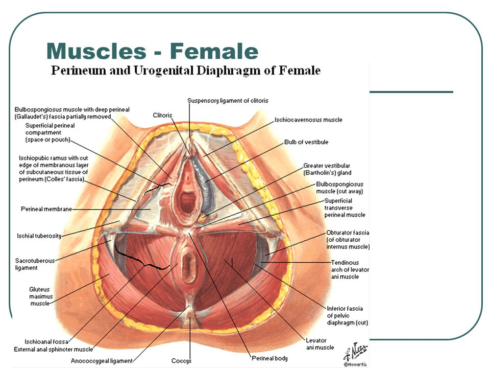 Muscles - Female