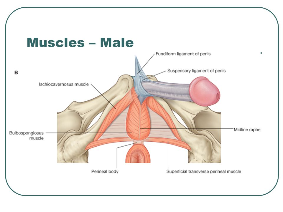 Muscles – Male