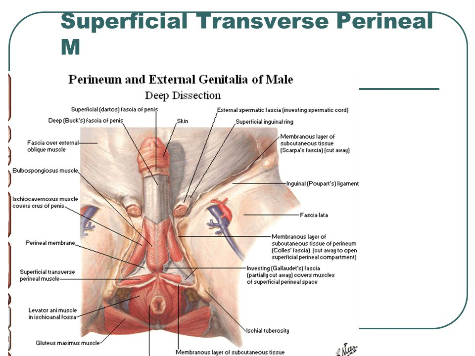 Superficial Transverse Perineal M