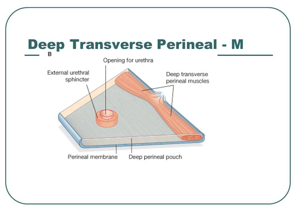 Deep Transverse Perineal - M