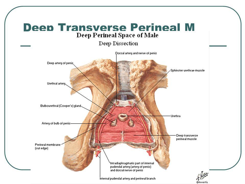 Deep Transverse Perineal M