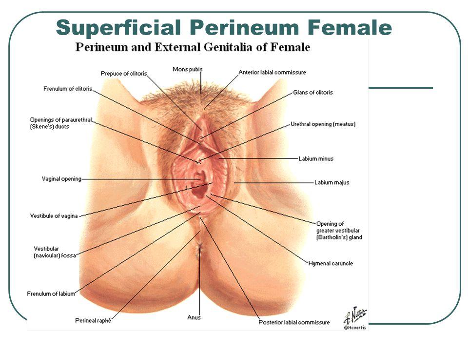 Superficial Perineum Female