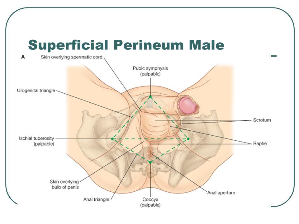 Superficial Perineum Male