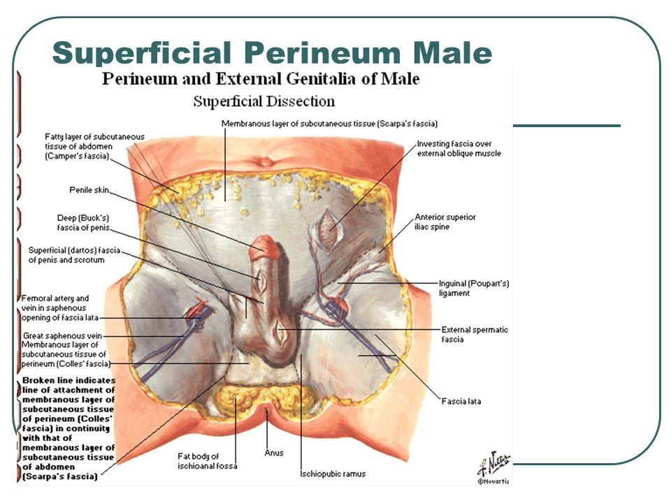 Superficial Perineum Male
