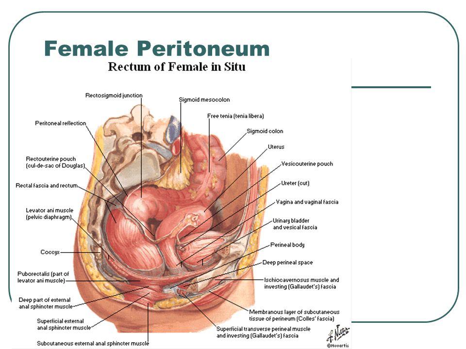 Female Peritoneum