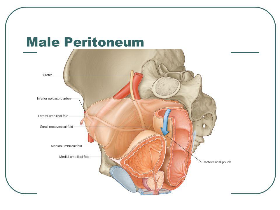 Male Peritoneum